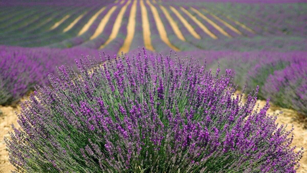 Lavender 894919 1280