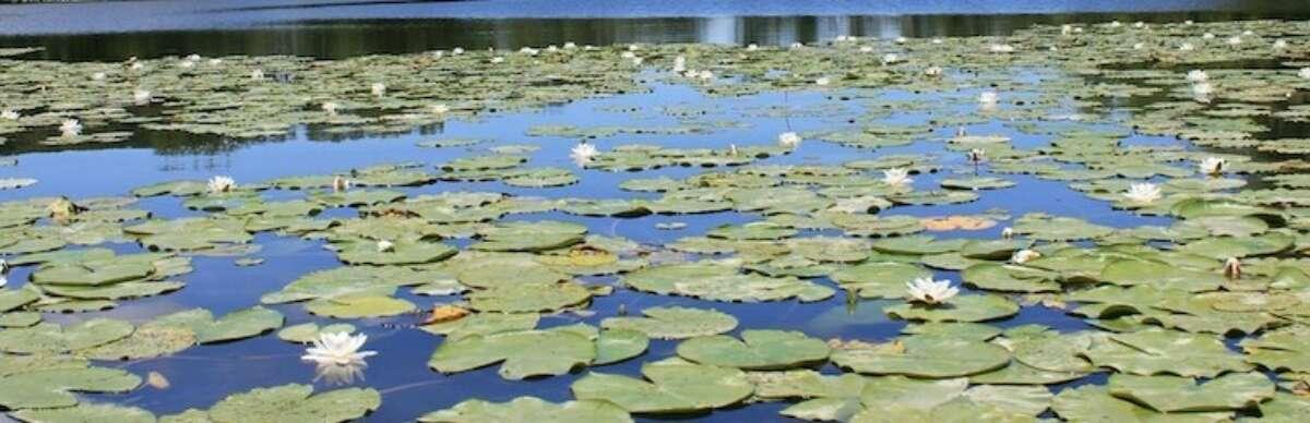 Waterlelies Karpervissen